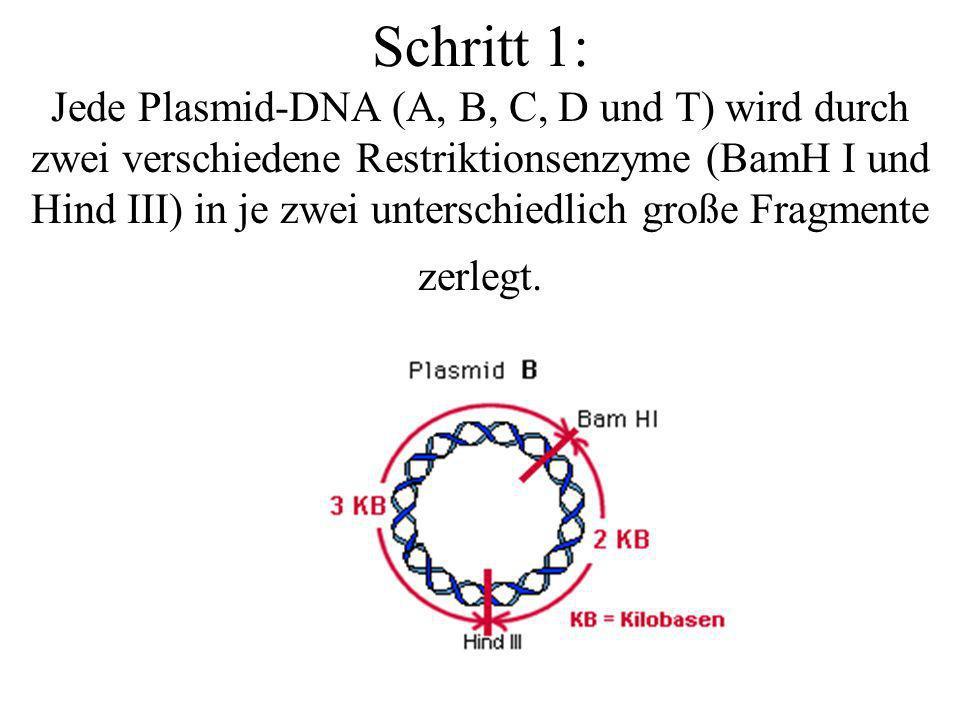 Schritt 1: Jede Plasmid-DNA (A, B, C, D und T) wird durch zwei verschiedene Restriktionsenzyme (BamH I und Hind III) in je zwei unterschiedlich große Fragmente zerlegt.