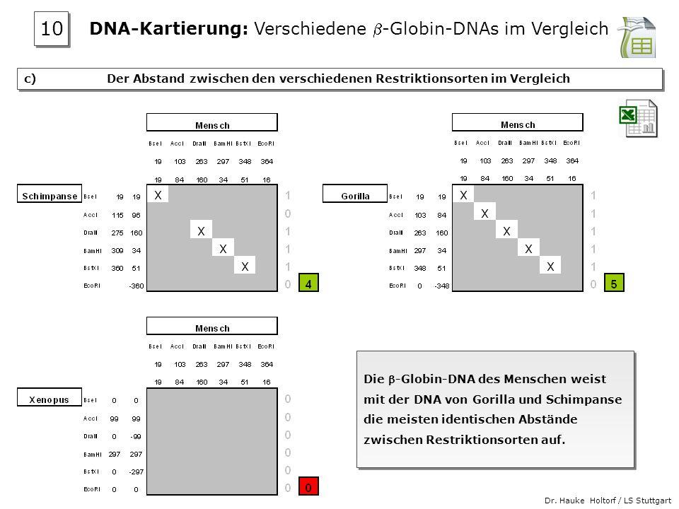 DNA-Kartierung: Verschiedene b-Globin-DNAs im Vergleich