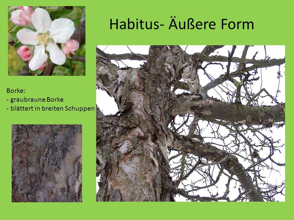 Habitus- Äußere Form Borke: - graubraune Borke
