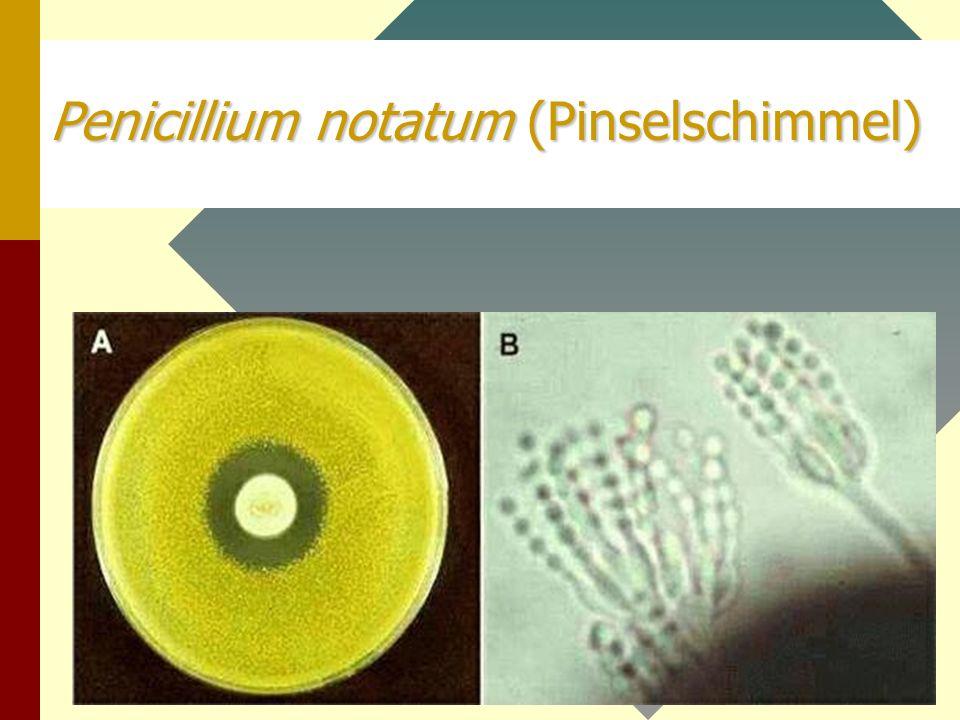 Penicillium notatum (Pinselschimmel)