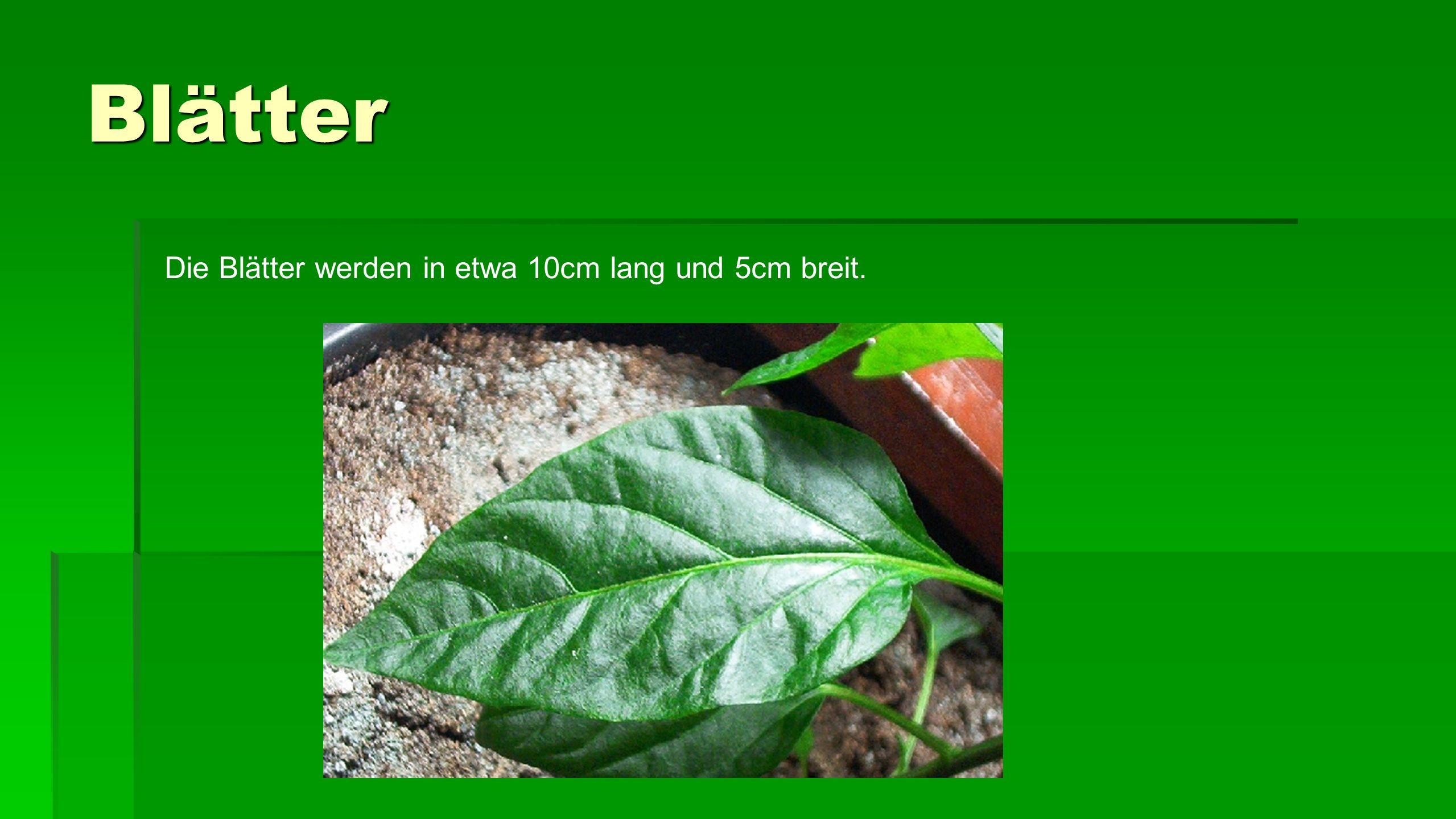 Blätter Die Blätter werden in etwa 10cm lang und 5cm breit.