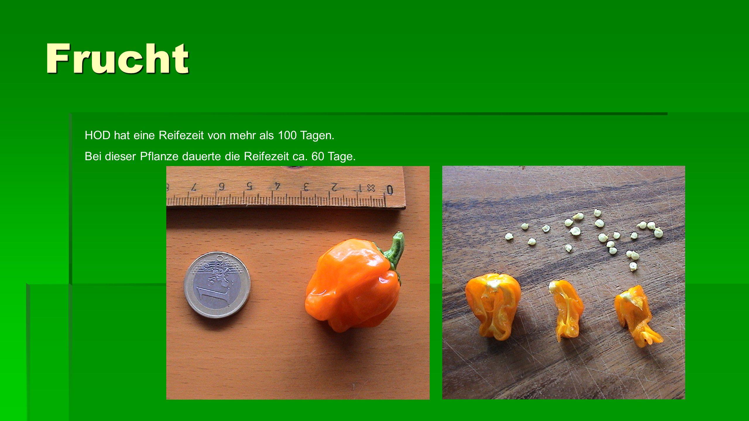 Frucht HOD hat eine Reifezeit von mehr als 100 Tagen.