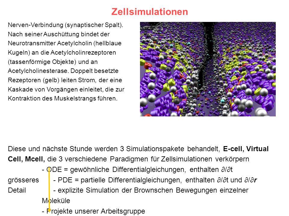 ZellsimulationenNerven-Verbindung (synaptischer Spalt). Nach seiner Auschüttung bindet der. Neurotransmitter Acetylcholin (hellblaue.