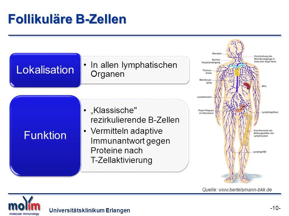 Follikuläre B-Zellen Lokalisation Funktion