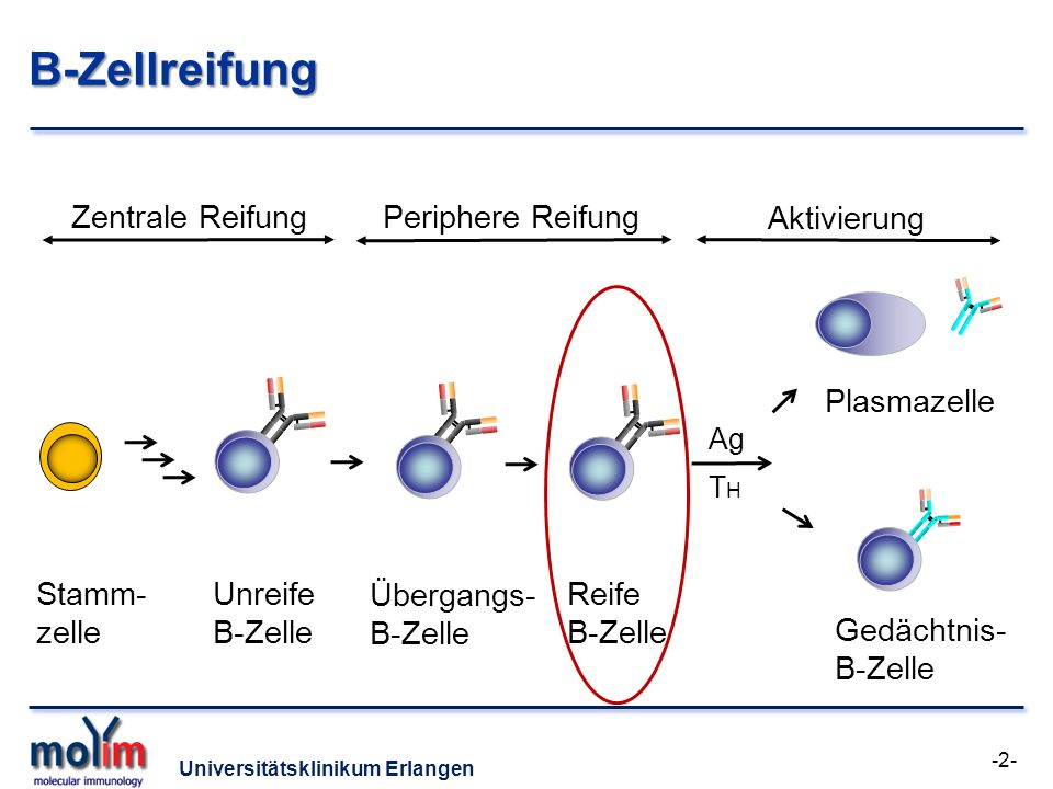 B-Zellreifung Zentrale Reifung Periphere Reifung Aktivierung