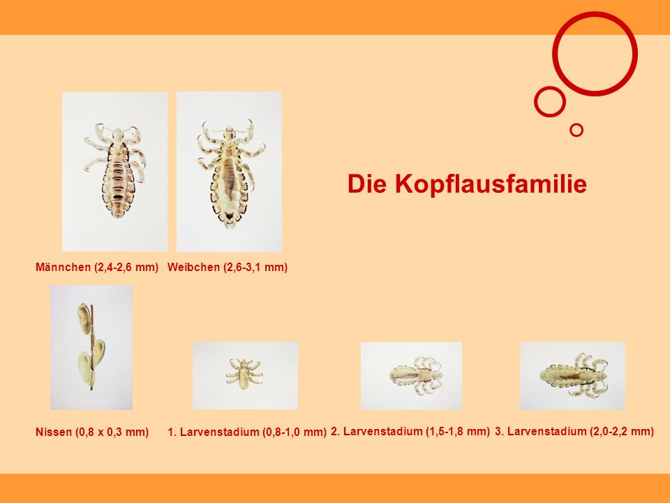 Die Kopflausfamilie Männchen (2,4-2,6 mm) Weibchen (2,6-3,1 mm)