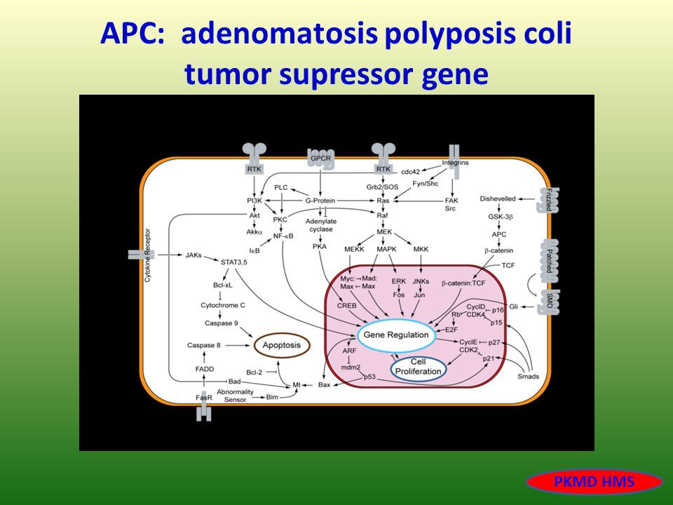 APC: adenomatosis polyposis coli tumor supressor gene
