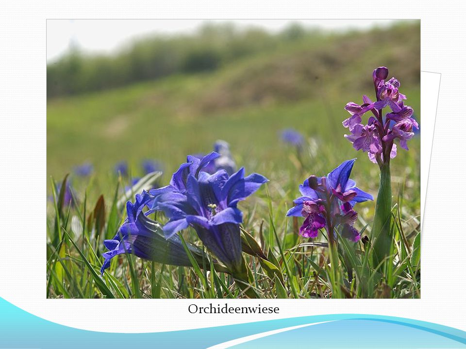 Orchideenwiese