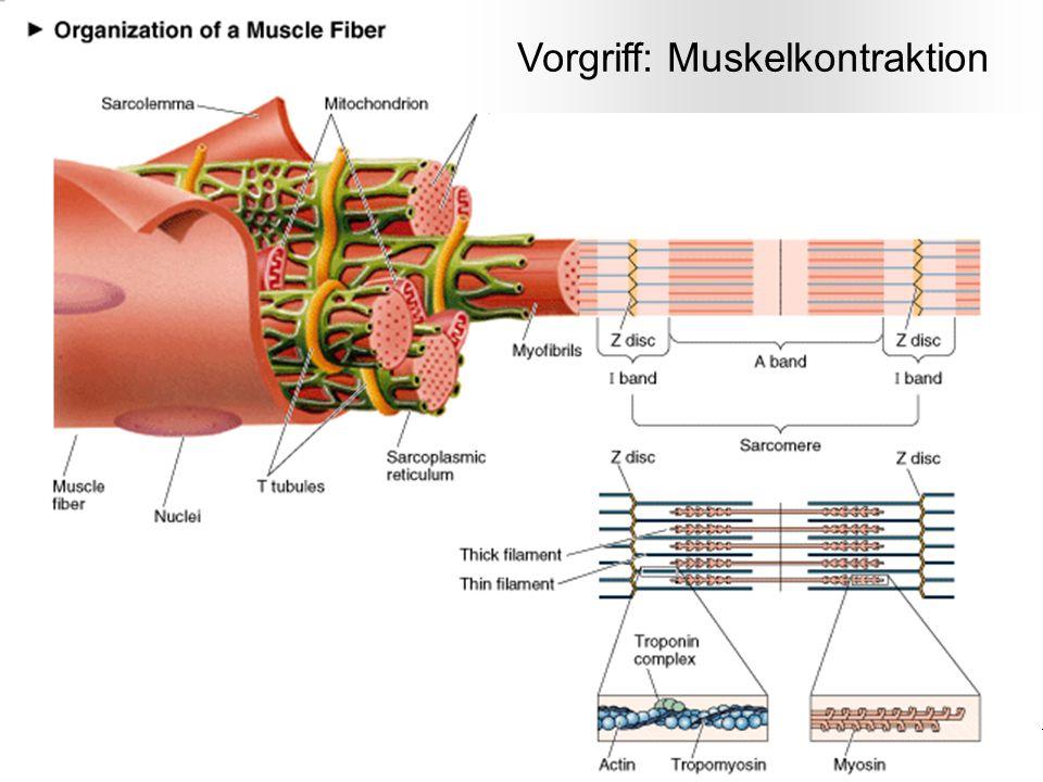 Vorgriff: Muskelkontraktion