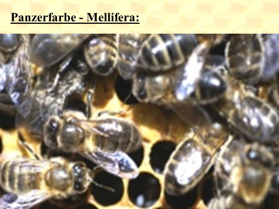 Panzerfarbe - Mellifera: