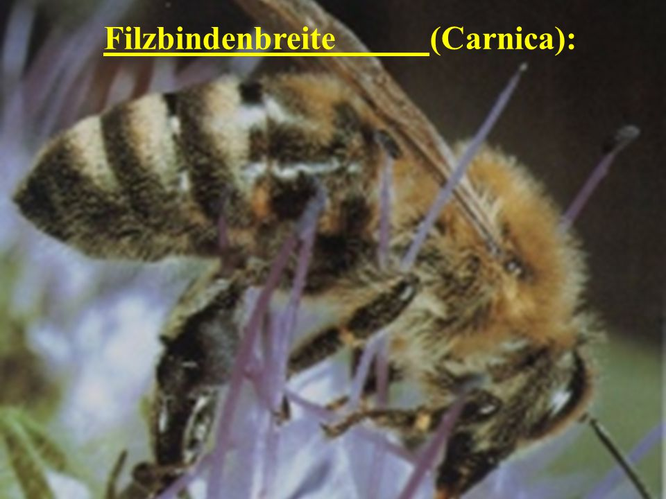 Filzbindenbreite (Carnica):