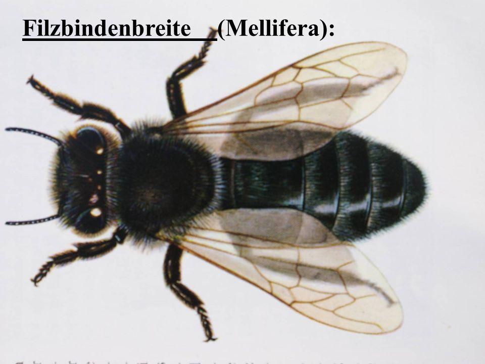 Filzbindenbreite (Mellifera):