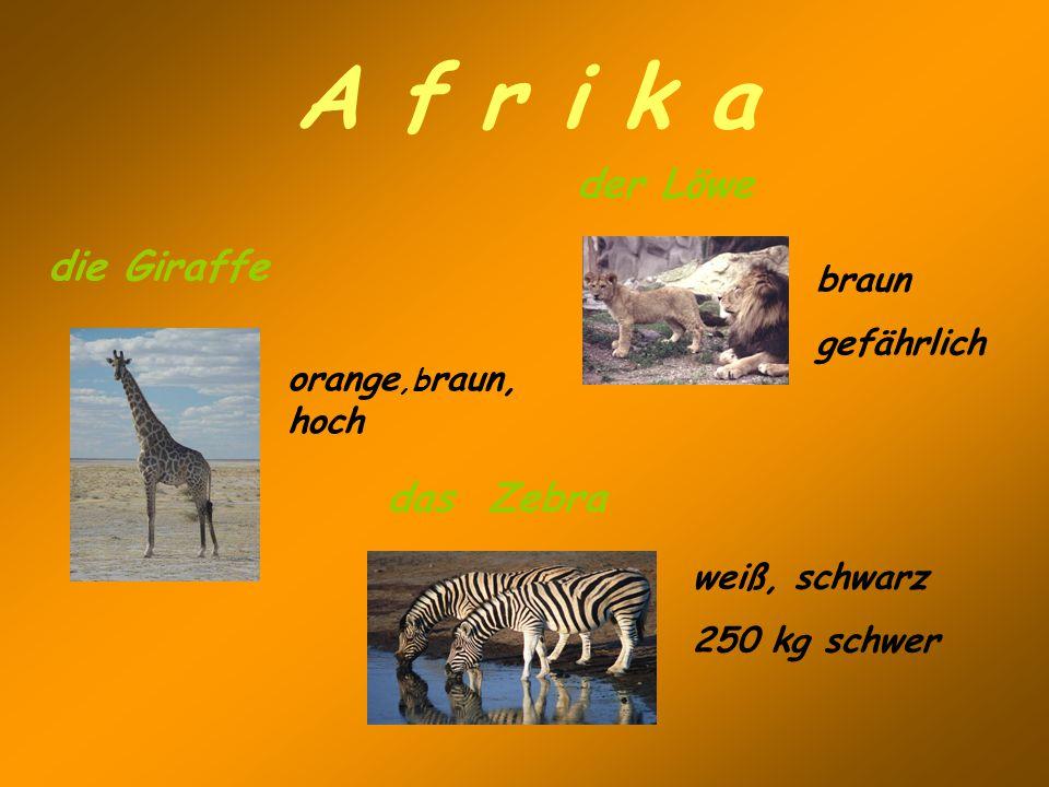 A f r i k a der Löwe die Giraffe das Zebra braun gefährlich