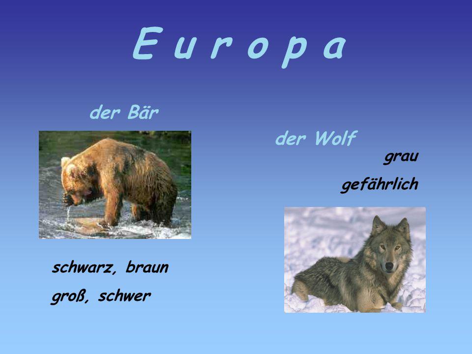 E u r o p a der Bär der Wolf grau gefährlich schwarz, braun