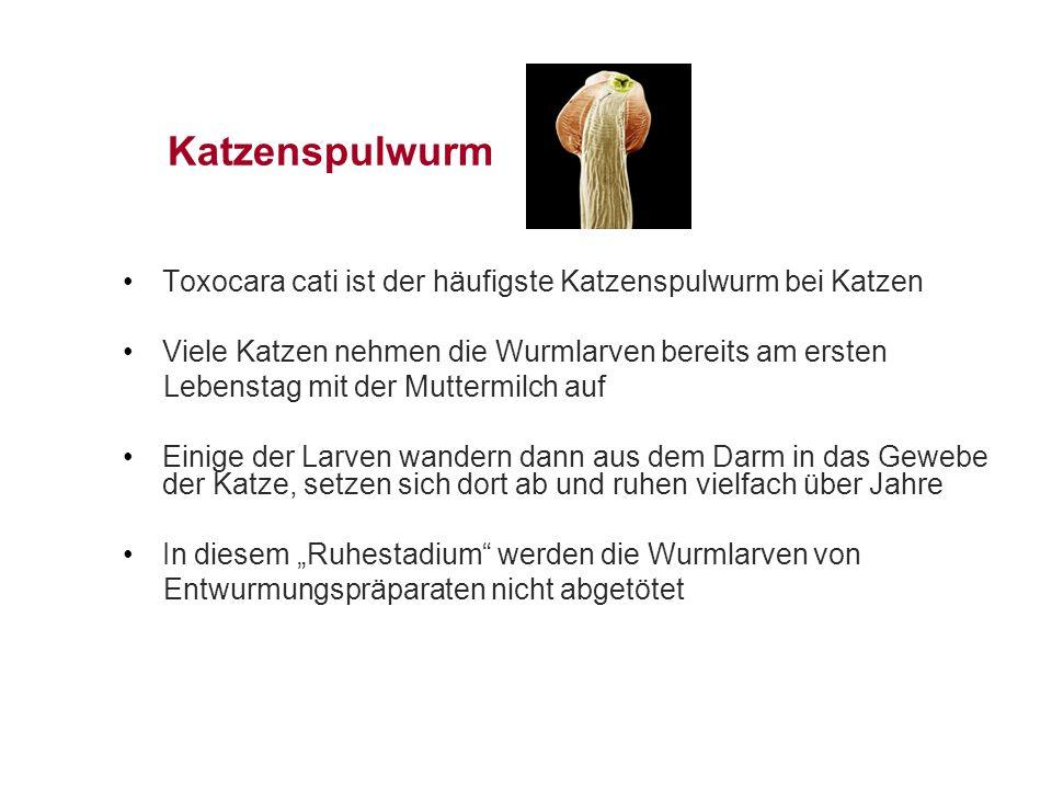 Katzenspulwurm Toxocara cati ist der häufigste Katzenspulwurm bei Katzen. Viele Katzen nehmen die Wurmlarven bereits am ersten.