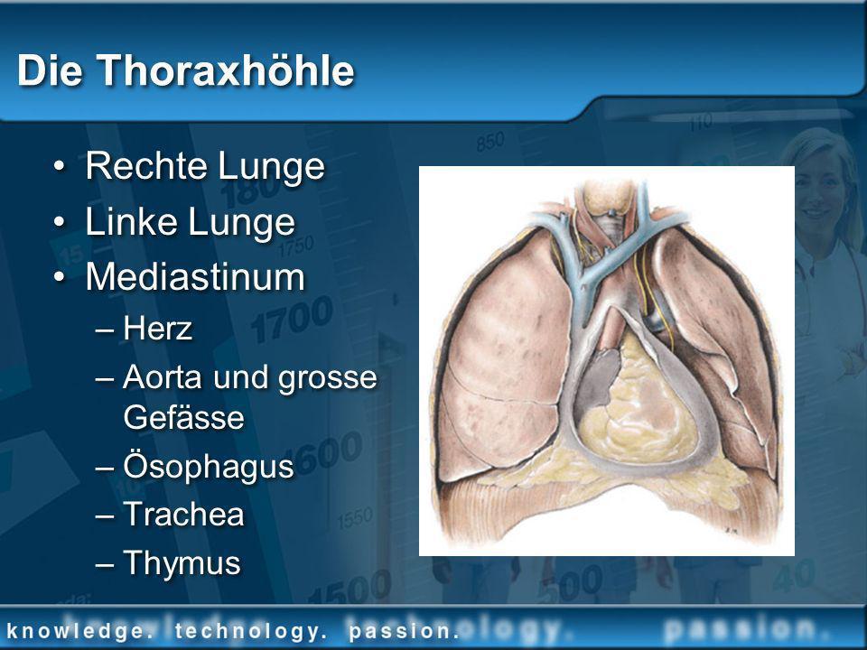 Die Thoraxhöhle Rechte Lunge Linke Lunge Mediastinum Herz