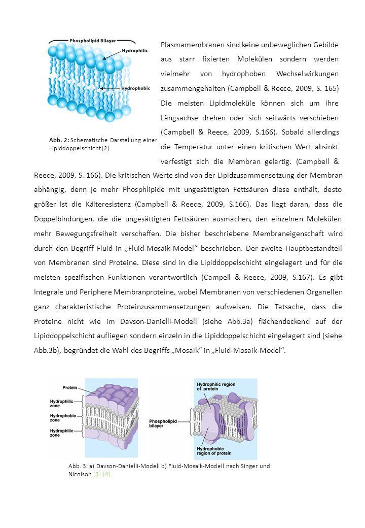 Plasmamembranen sind keine unbeweglichen Gebilde aus starr fixierten Molekülen sondern werden vielmehr von hydrophoben Wechselwirkungen zusammengehalten (Campbell & Reece, 2009, S. 165) Die meisten Lipidmoleküle können sich um ihre Längsachse drehen oder sich seitwärts verschieben (Campbell & Reece, 2009, S.166). Sobald allerdings die Temperatur unter einen kritischen Wert absinkt verfestigt sich die Membran gelartig. (Campbell &