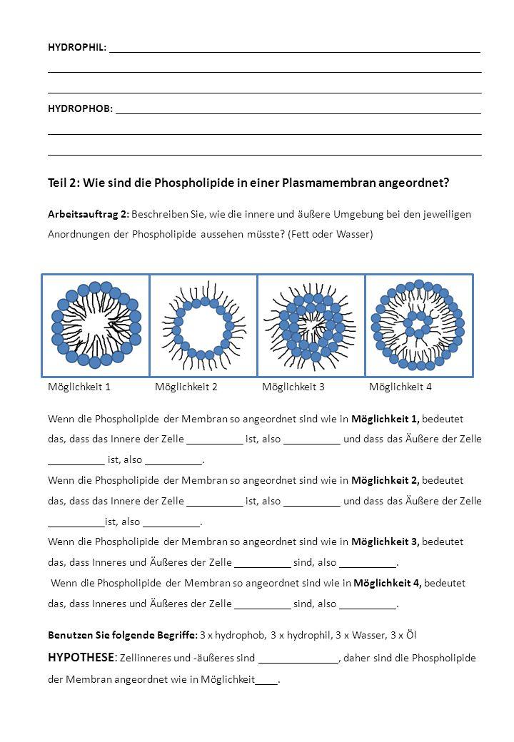 Teil 2: Wie sind die Phospholipide in einer Plasmamembran angeordnet