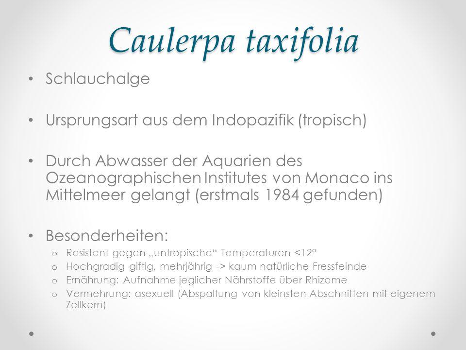 Caulerpa taxifolia Schlauchalge