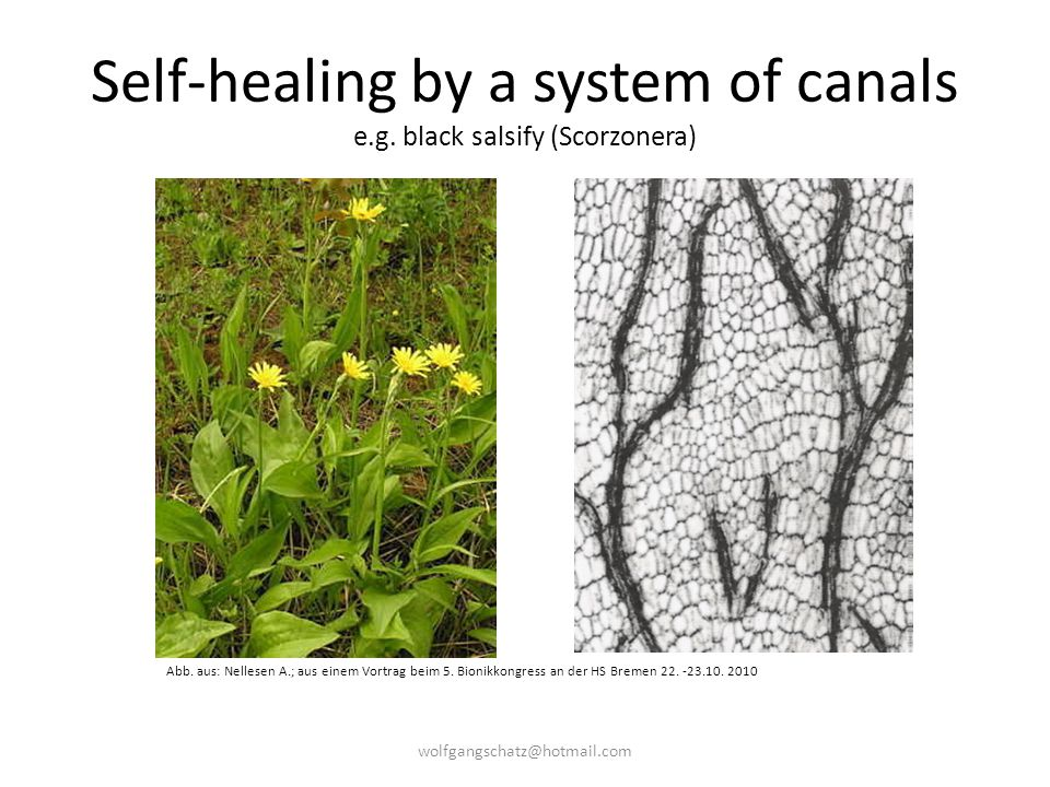 Self-healing by a system of canals e.g. black salsify (Scorzonera)