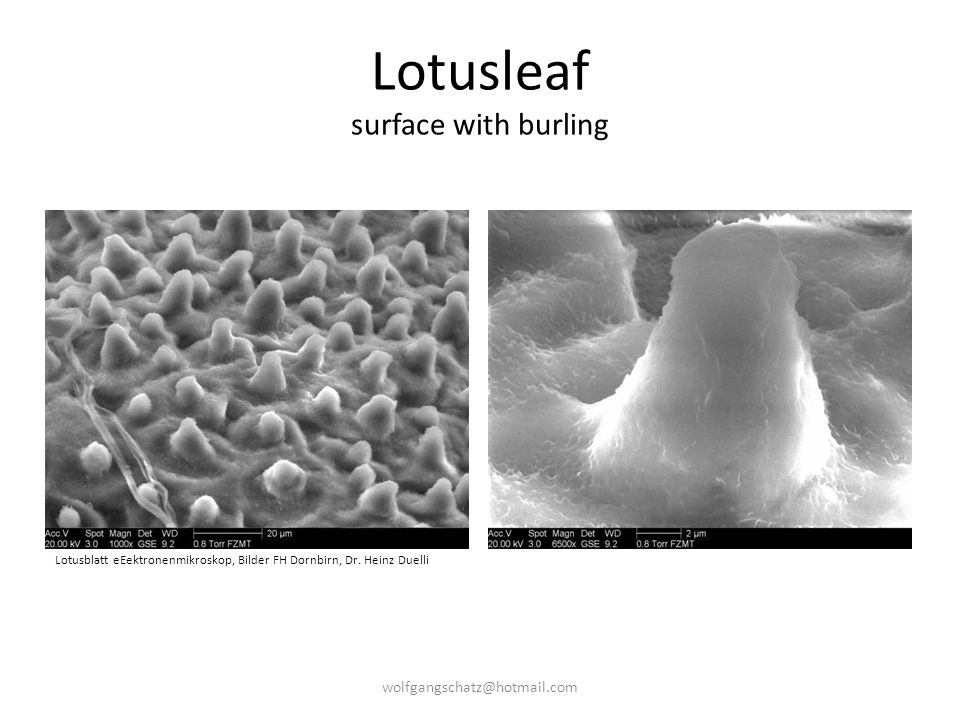 Lotusleaf surface with burling