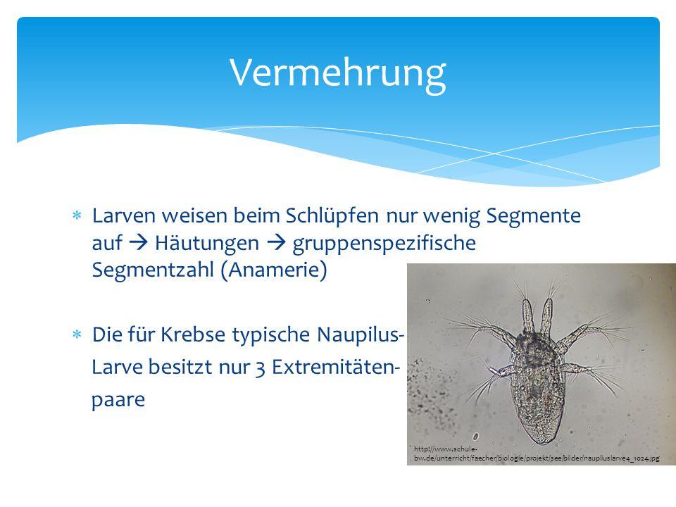 Vermehrung Larven weisen beim Schlüpfen nur wenig Segmente auf  Häutungen  gruppenspezifische Segmentzahl (Anamerie)