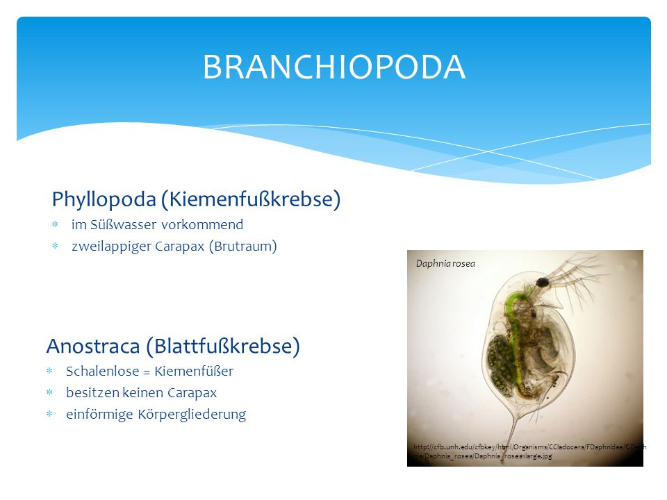BRANCHIOPODA Phyllopoda (Kiemenfußkrebse) Anostraca (Blattfußkrebse)