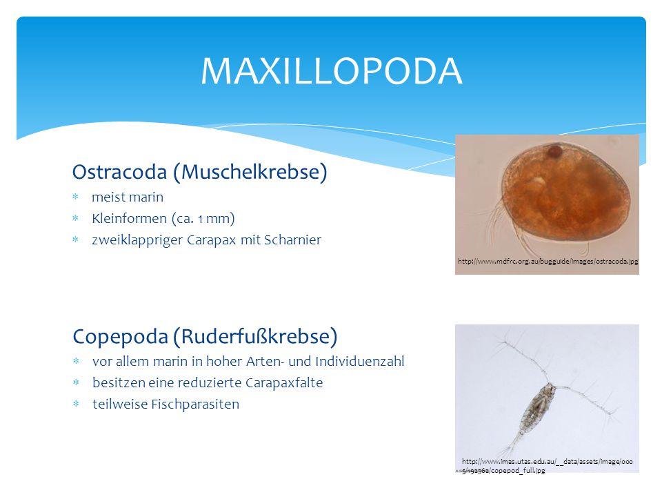 MAXILLOPODA Ostracoda (Muschelkrebse) Copepoda (Ruderfußkrebse)