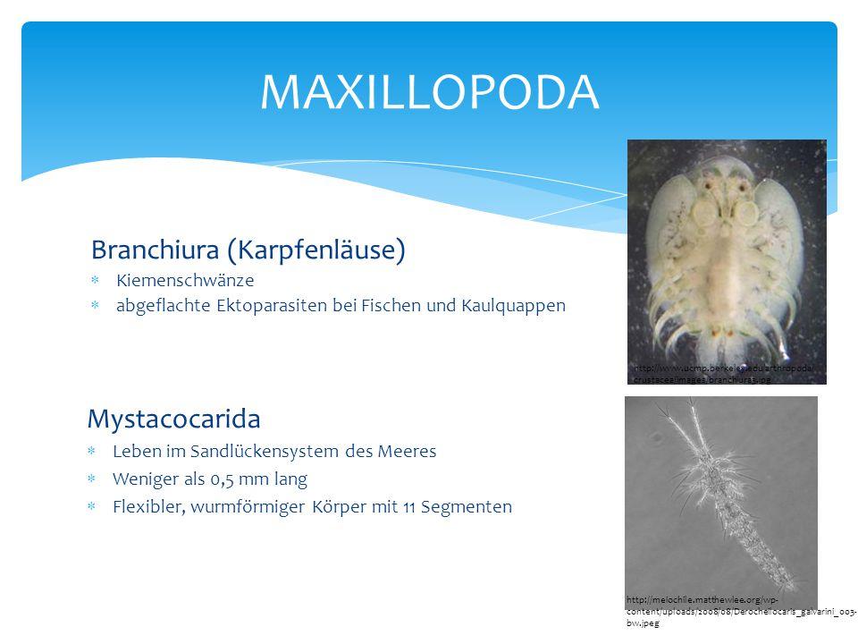 MAXILLOPODA Branchiura (Karpfenläuse) Mystacocarida Kiemenschwänze