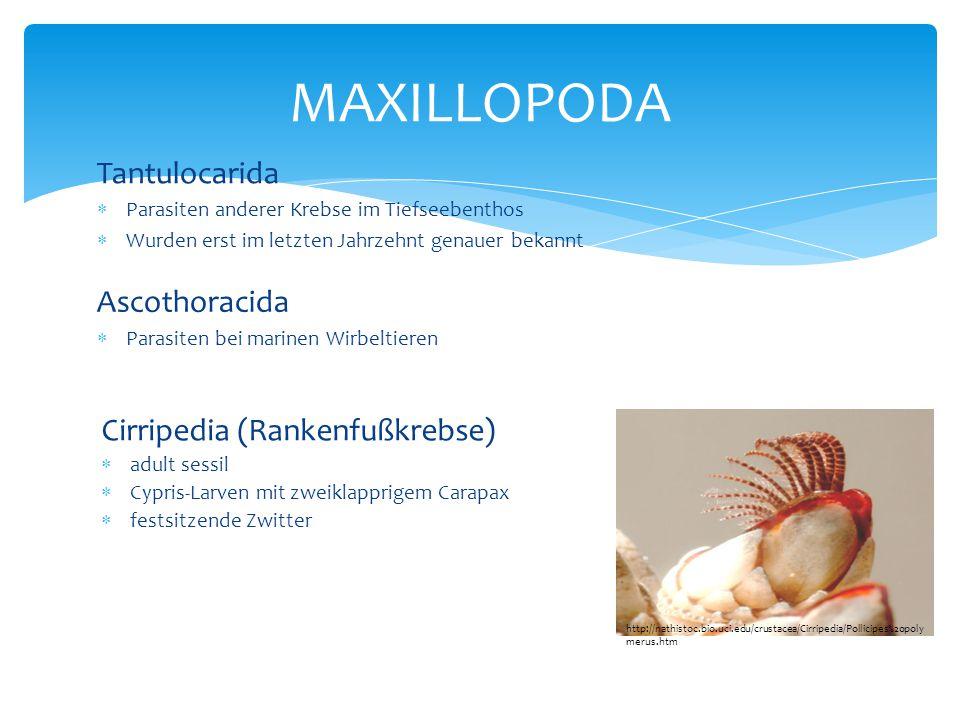MAXILLOPODA Tantulocarida Ascothoracida Cirripedia (Rankenfußkrebse)