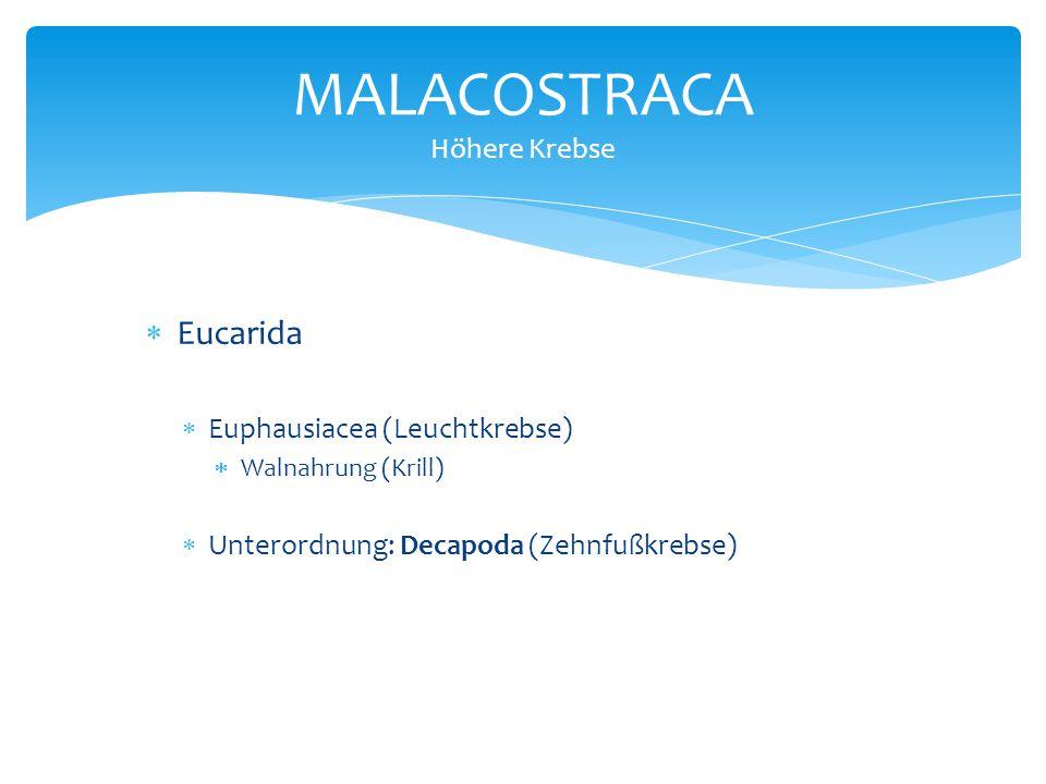 MALACOSTRACA Höhere Krebse