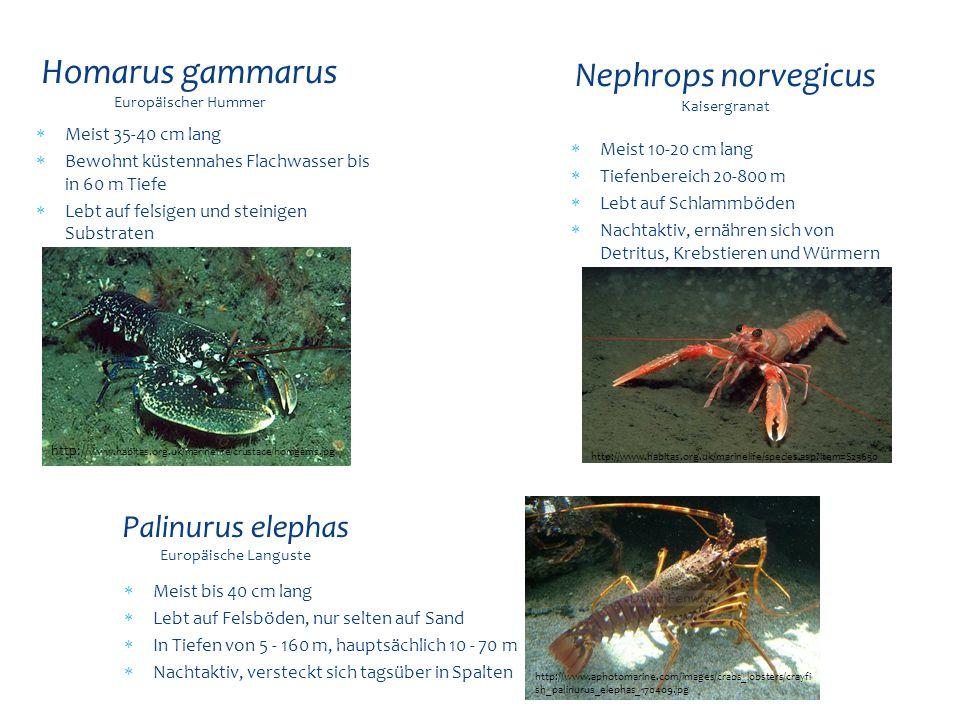 Homarus gammarus Europäischer Hummer