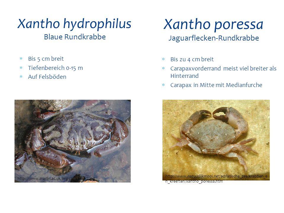 Xantho hydrophilus Blaue Rundkrabbe