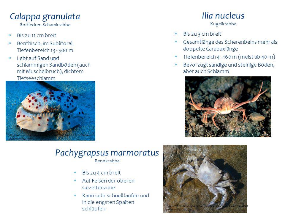 Calappa granulata Rotflecken-Schamkrabbe