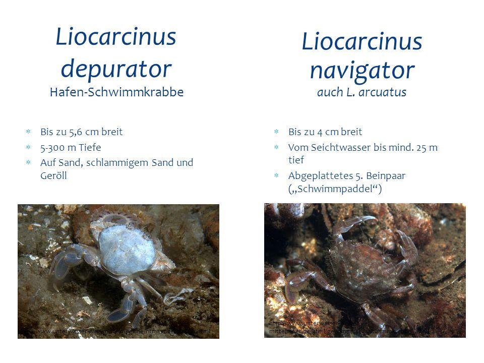 Liocarcinus depurator Hafen-Schwimmkrabbe