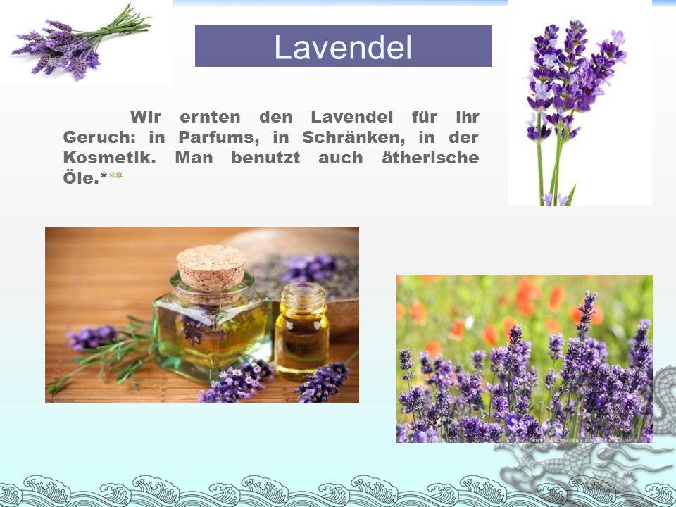 Lavendel Wir ernten den Lavendel für ihr Geruch: in Parfums, in Schränken, in der Kosmetik.