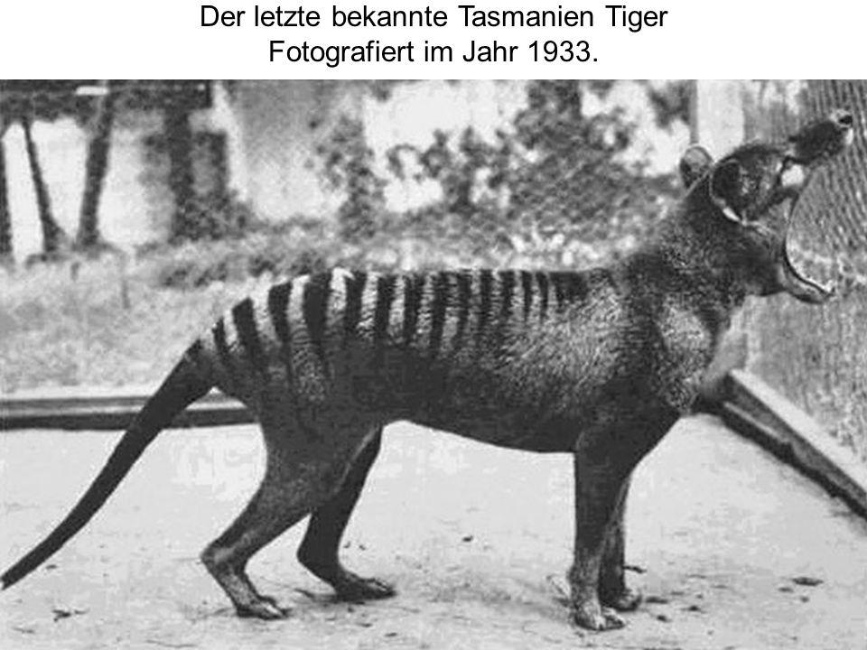 Der letzte bekannte Tasmanien Tiger