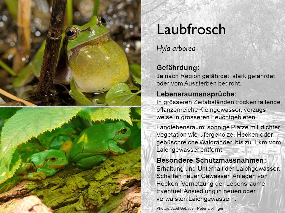 Laubfrosch Hyla arborea Gefährdung: