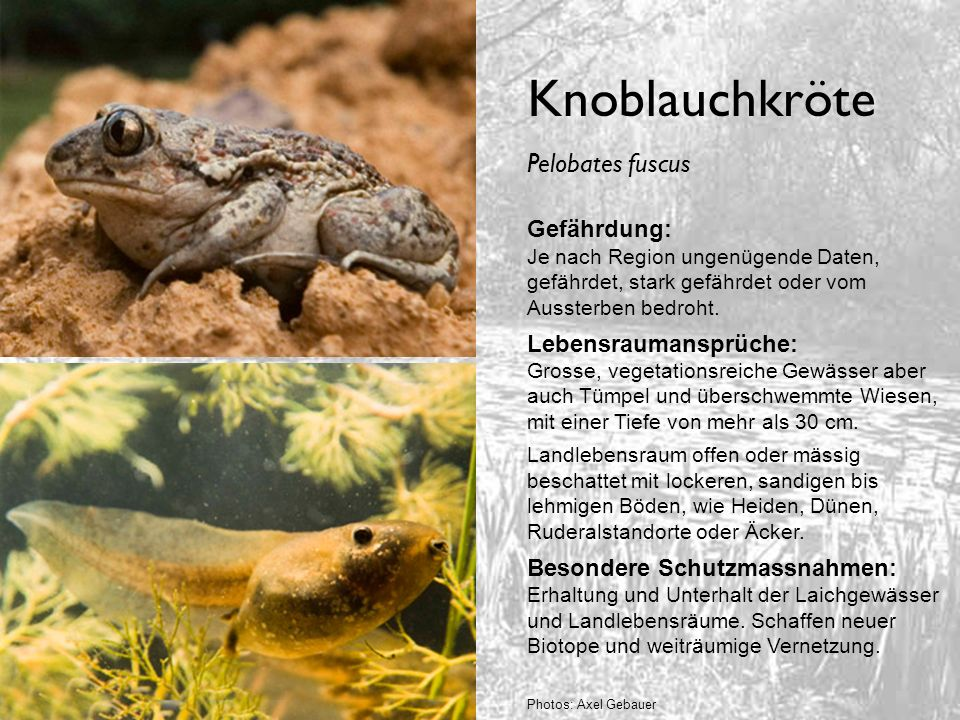 Knoblauchkröte Pelobates fuscus Gefährdung: