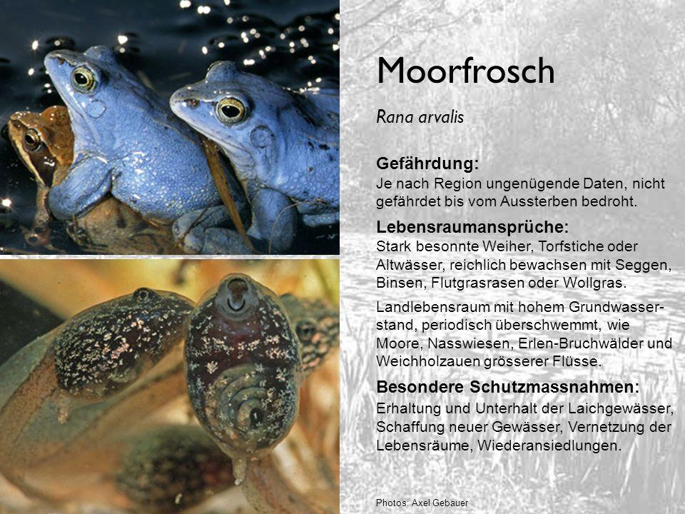 Moorfrosch Rana arvalis Gefährdung:
