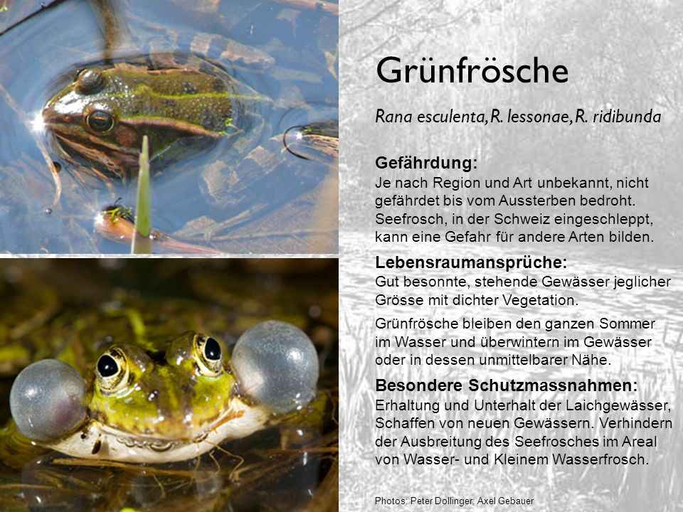 Grünfrösche Rana esculenta, R. lessonae, R. ridibunda Gefährdung: