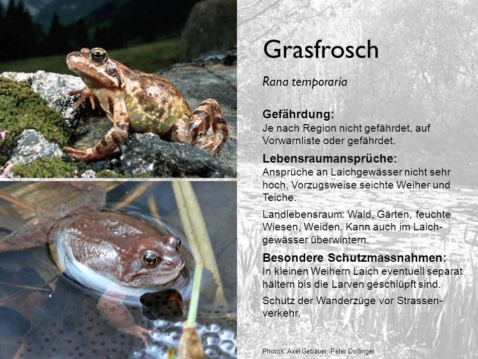 Grasfrosch Rana temporaria Gefährdung:
