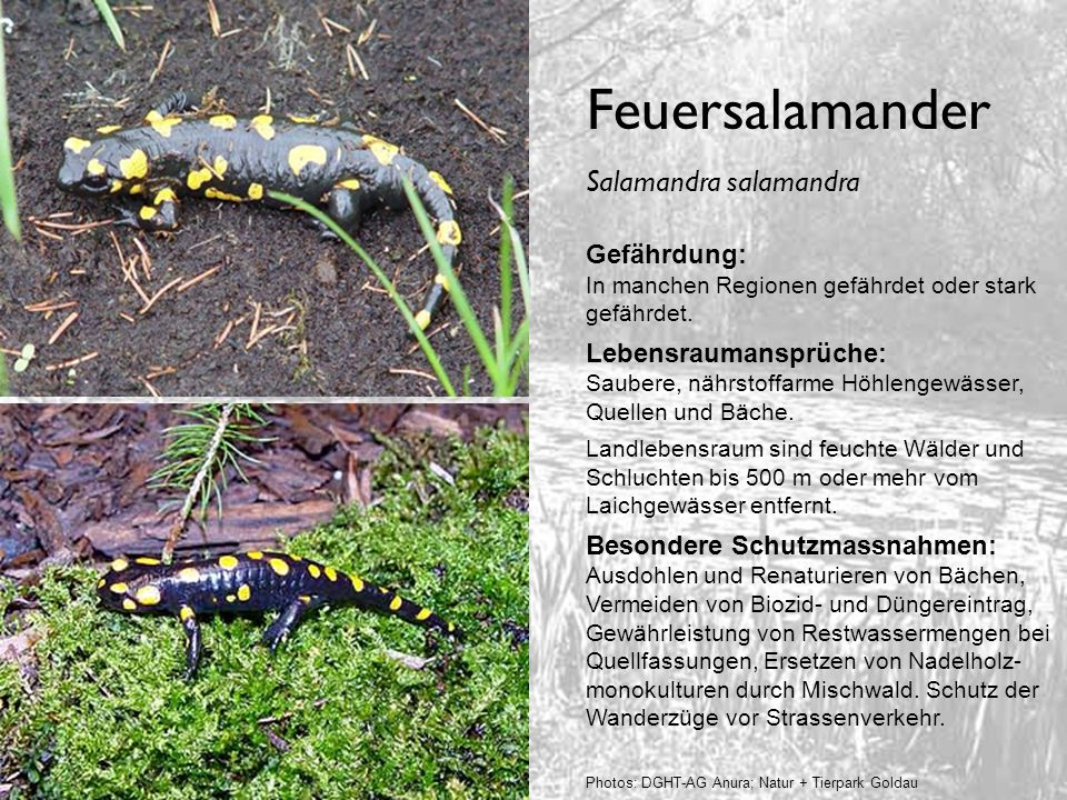 Feuersalamander Salamandra salamandra Gefährdung: