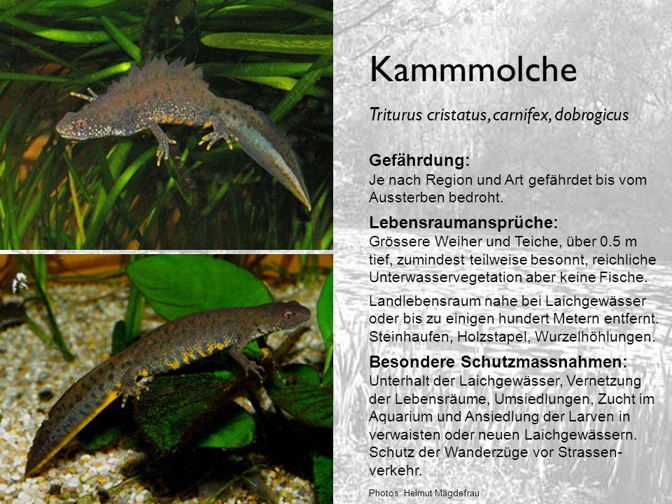 Kammmolche Triturus cristatus, carnifex, dobrogicus Gefährdung: