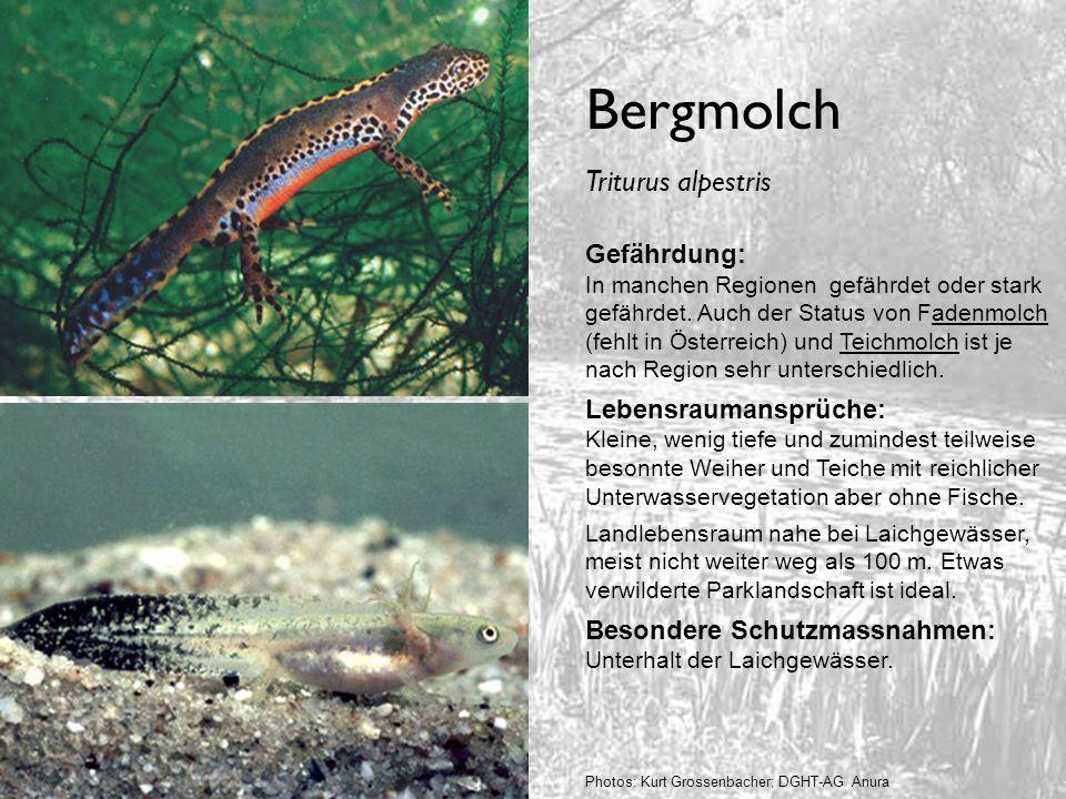 Bergmolch Triturus alpestris Gefährdung: