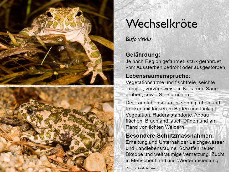 Wechselkröte Bufo viridis Gefährdung: