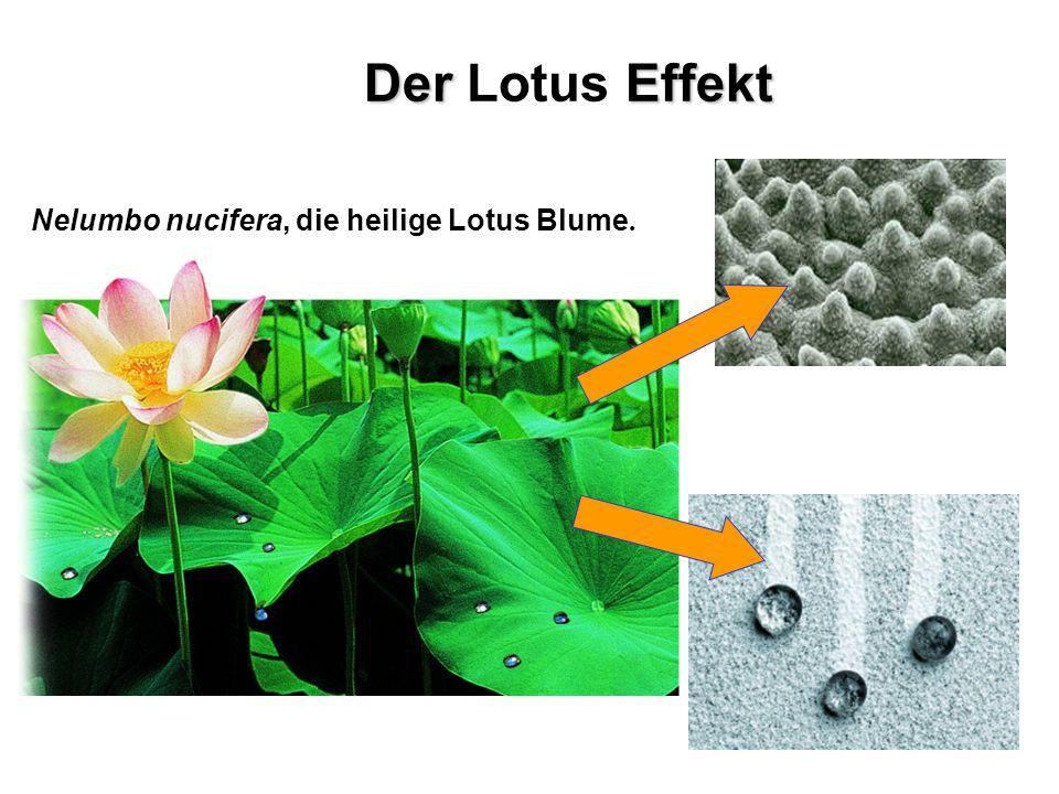 Der Lotus Effekt Nelumbo nucifera, die heilige Lotus Blume.
