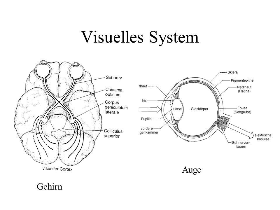 Visuelles System Auge Gehirn