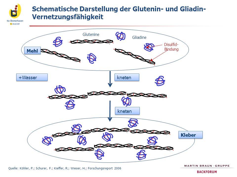 Schematische Darstellung der Glutenin- und Gliadin- Vernetzungsfähigkeit