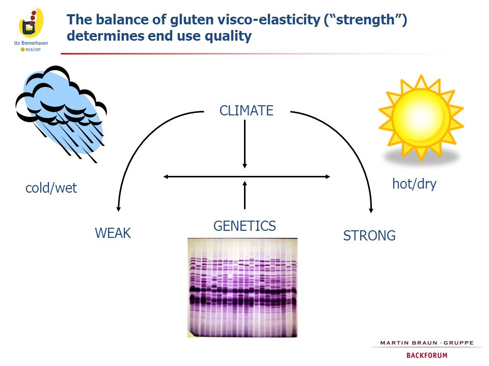 The balance of gluten visco-elasticity ( strength )